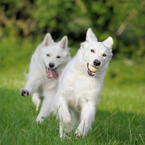 Aktive Weisse Schäferhunde