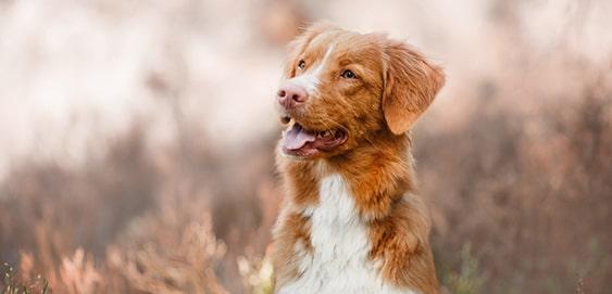 Hund ist ohne Schleppleine aufmerksam
