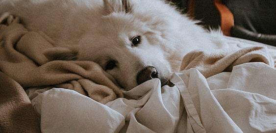 Leishmaniose beim Hund behandeln