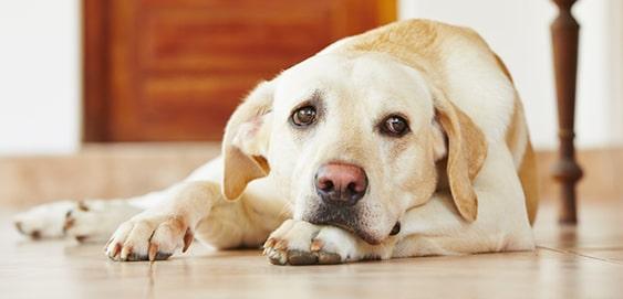 Hund mit Cushing Syndrom