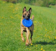 Discdogging Hundefrisbee