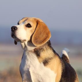 Corgi Hund bettelt