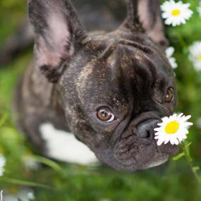 Hund auf einer Blumenwiese