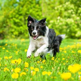 Border Collie rennt über eine Wiese