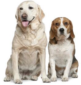 Labrador neben einem Beagle