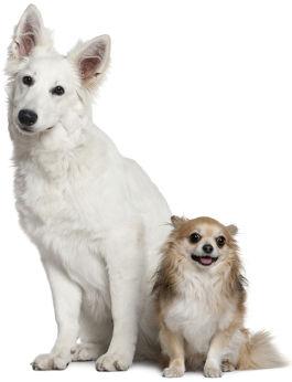 Weisser Schäferhund neben Chihuahua