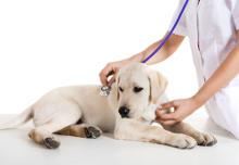 Welpe wird vor der Impfung untersucht