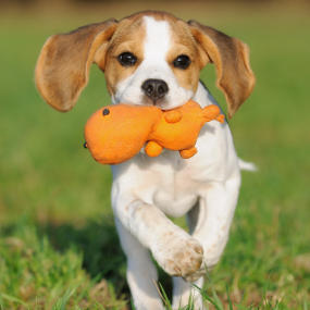 Hund apportiert Spielzeug