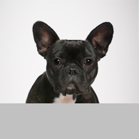 Französische Bulldogge-Foto