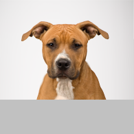 American Staffordshire Terrier-Foto