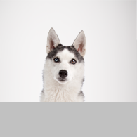 Siberian Husky-Foto