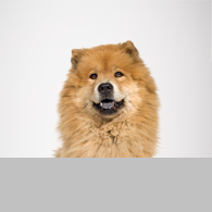 Chow Chow-Foto