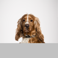 English Cocker Spaniel-Foto