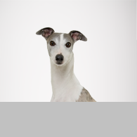 Greyhound-Foto