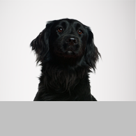 Flat Coated Retriever-Foto