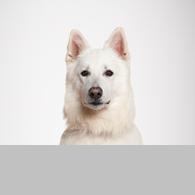 Weißer Schweizer Schäferhund-Foto