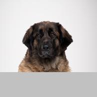Leonberger-Foto