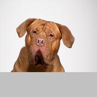 Bordeaux Dogge-Foto