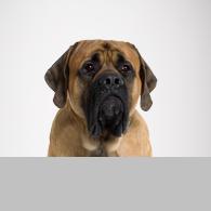 Mastiff-Foto