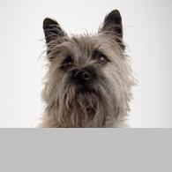 Cairn Terrier-Foto