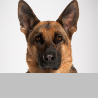 Deutscher Schäferhund-Foto