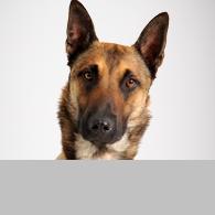 Belgischer Schäferhund-Foto