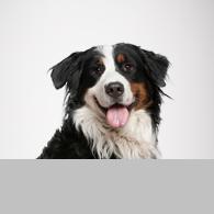 Berner Sennenhund-Foto