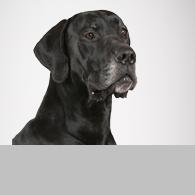 Deutsche Dogge-Foto