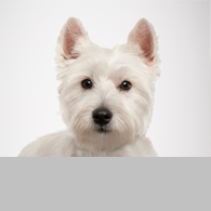 West Highland Terrier-Foto