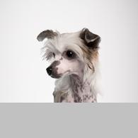Chinesischer Schopfhund-Foto