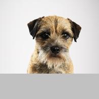 Border Terrier-Foto
