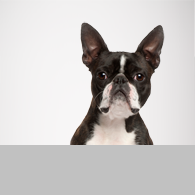 Boston Terrier-Foto