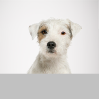 Parson Russell Terrier-Foto