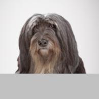 Tibet Terrier-Foto