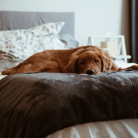 Hund hat Fieber