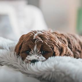 Zwingerhusten beim Hund