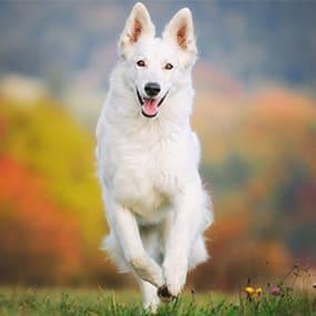 Weißer Schweizer Schäferhund Futter