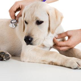 Organerkrankungen beim Hund