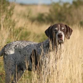 Vorstehhund Deutsch Kurzhhaar