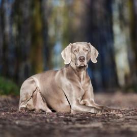 Vorstehhund Weimaraner