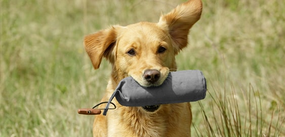 Hund beim Apportieren