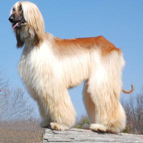 Afghanischer Windhund Kachel 1