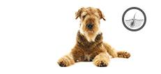 Airedale Terrier Welpe mit Hauterkrankungen