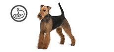 Airedale Terrier Hündin mit sensibler Verdauung
