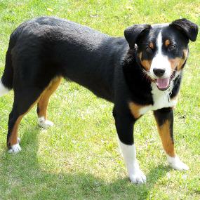 Appenzeller Sennenhund Kachel 1