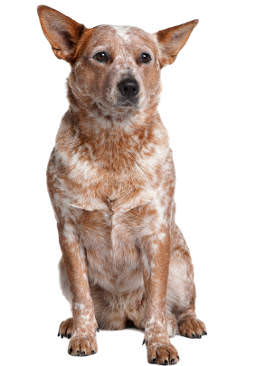 Australian Cattle Dog Wesen