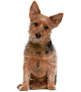 Australian Terrier Wesen