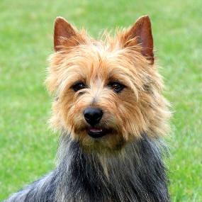 Australian Terrier Kachel 1