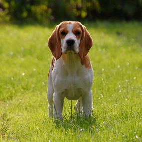 stehender Beagle