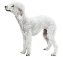 Bedlington Terrier  Wesen